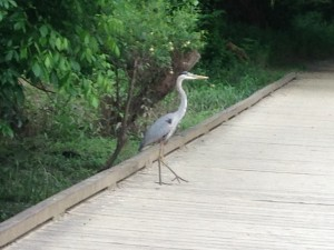 We saw this Blue Heron crossing the path on the trail...we gave him the right-of-way!